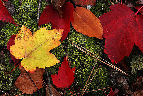 Leaves on Moss, Arkansas by Gale Rainwater