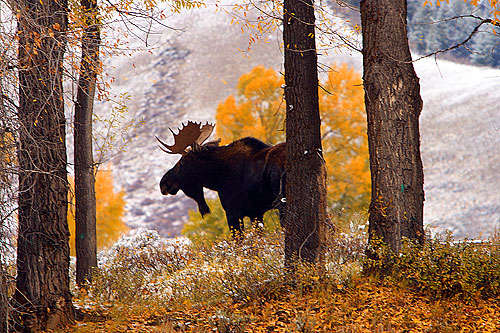 Moose in Grand Teton by galerainwater.com